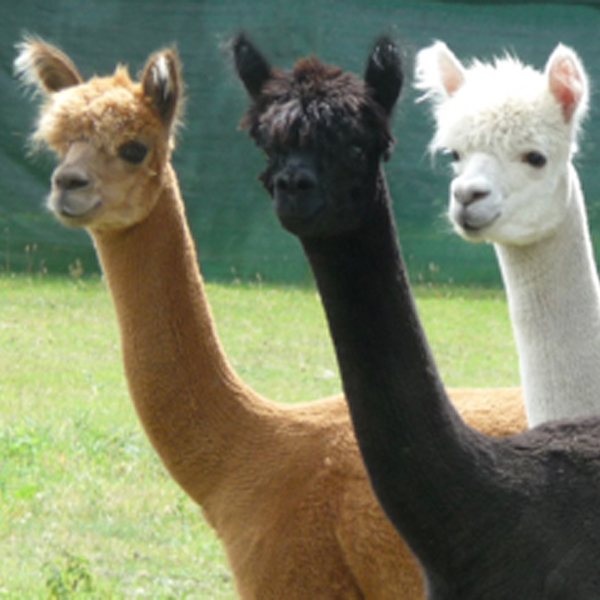 Suffolk Alpaca