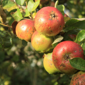 Apples in tree