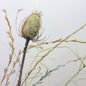Teasel watercolour painting by Erica Just