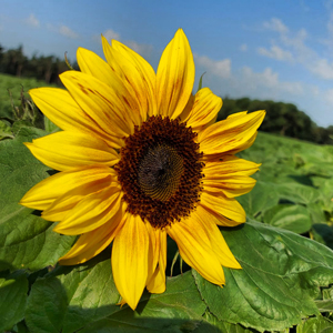NEW: Pick Your Own Sunflowers